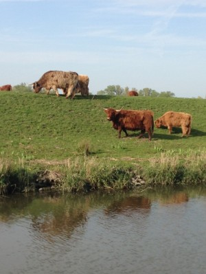 Runderen_Biesbosch