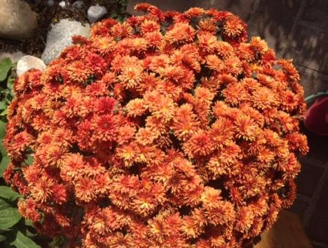 Stralende herfstchrysant